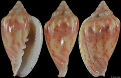 Glabella denticulata (Senegal, 22,5mm)