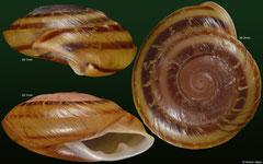 Pleurodonte josephinae (Guadeloupe)