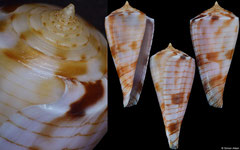 Conus kimioi (Philippines, 27,0mm)