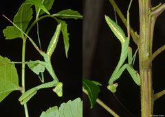 Praying mantis (Hierodula sp.), Olango Island, Philippines