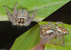 Jumping spider (Salticidae sp.), Samal Island, Philippines