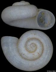 Pontohoratia mapeli (Georgia, 1,4mm) (paratype)