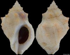 Mancinella herberti (South Africa, 30,5mm)