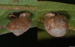 Dioryx cariniger (2,9km S of Ban Nase, Khammouane Province, Laos)