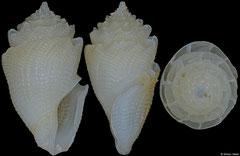 Conopleura striata (Philippines, 15,3mm)