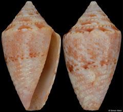 Conus pusio (Brazil, 14,2mm) F+/F++ €21.00