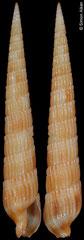 Terebra hiscocki (Philippines, 43,0mm)