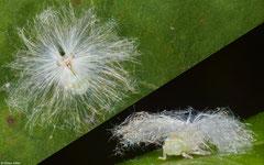 Planthopper (Auchenorrhyncha sp.), Nha Trang, Vietnam