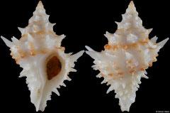 Acanthotrophon carduus (Pacific Panama, 23,3mm)