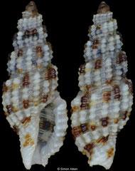 Kermia daedalea (Philippines, 5,3mm)