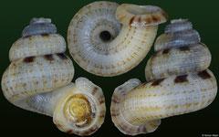 Adamsiella sp. (Jamaica, 16,7mm)