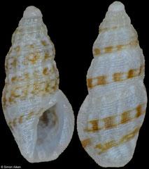 Anacithara cf. themeropsis (Philippines, 4,3mm, 4,7mm)