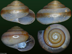 Chalepotaxis infantilis (Laos, 4,9mm, 4,7mm) F++ €5.00 dry, €5.50 with animal (specimens for sale are 4-5mm and are of the same quality as the specimens illustrated)