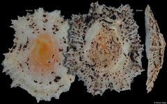 Scutellastra flexuosa (Philippines) F+++ €1.60