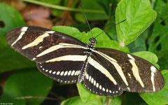 Zebra longwing (Heliconius charithonia), El Breton, Dominican Republic