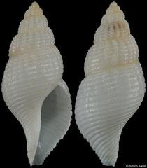 Calagrassor hayashii (Madagascar, 26,1mm) F+ €16.00