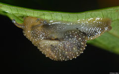 Microparmarion simrothi (WSW of Lakxao, Bolikhamsai Province, Laos)
