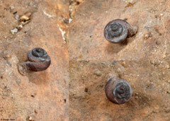 Aulacospira sp. nov. (N of Kampong Trach, Cambodia)