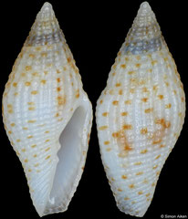 Mitromorpha punctata (Philippines, 9,2mm)