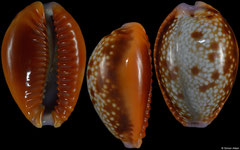 Cypraea helvola form 'argella' (Tanzania, 20,5mm) F+++ €1.60 (specimens for sale are 19mm+ and are of the same quality as the specimen illustrated)
