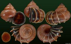 Acroptychia metableta (Madagascar, 26,0mm)