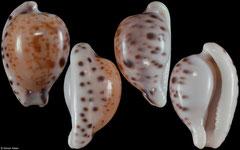 Cypraea edentula astonensis (South Africa, 19,8mm)