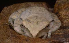 Robert Inger's flying frog (Rhacophorus robertingeri), Kampong Trach, Cambodia