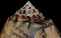 Oliva tremulina (Madagascar, 91,8mm)