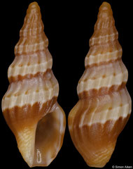 Clavus isibopho (South Africa, 9,8mm) F+/F++ €2.50 (specimens for sale are 9mm and are of the same quality as the specimen illustrated)