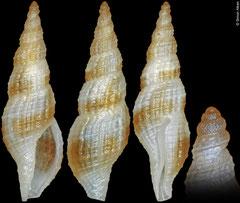 Raphitomidae sp. (Philippines, 8,4mm)