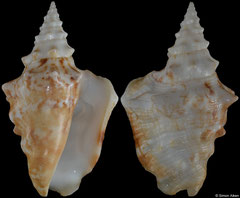 Persististrombus granulatus (Pacific Panama, 47,8mm) F+++ €7.50 (specimens for sale are 46-48mm and are of the same quality as the specimen illustrated)
