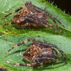 Brown-legged spider (Neoscona rufofemorata) Balut Island, Philippines