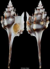 Haustellotyphis cumingii (Pacific Panama, 29,5mm)
