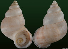 Clydonopoma poloense (Dominican Republic, 24,7mm, 24,5mm) F+++ €42.00 (specimens for sale are 23-25mm and are of the same quality as the specimens illustrated)