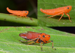 Sharpshooter (Cicadellidae sp.) with nymphs, Kampot, Cambodia