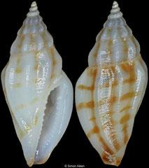 Eucithara sp. (Philippines, 9,9mm)