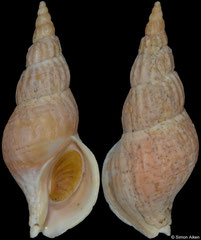 Plicifusus bambusa (Kuril Islands, 73,6mm)