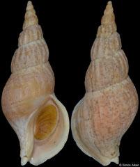 Plicifusus bambusa (Kuril Islands, 73,6mm)