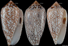 Conus archiepiscopus form 'concatenatus' (Madagascar) F++ €4.00 (specimens for sale are 44mm+ and are of the same quality as the specimens illustrated)