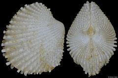 Centrocardita cf. pseudocardita (Philippines, 7,9mm)