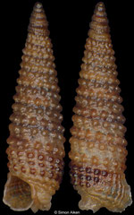 Coriophora aff. cnodax (Philippines, 3,3mm) F+++ €4.00