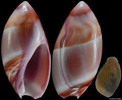 Amalda decipiens (South Africa, 27,8mm)