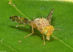 Fruit fly (Tephritidae sp.), Bokor Mountain, Cambodia
