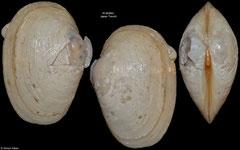 Isorropodon fossajaponicum (Japan Trench, 21,5mm)