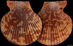 Mimachlamys sanguinea (Philippines, 56,0mm)