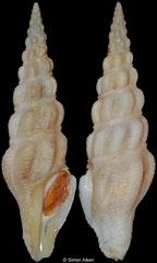 Knefastia horrenda (Brazil, 57,6mm)