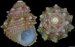 Arene flexispina (Brazil, 7,6mm)