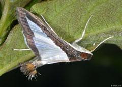 Melonworm moth (Diaphania hyalinata), Polo, Pedernales peninsula, Dominican Republic