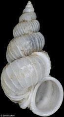 Epitonium tenuiliratum (China, 10,2mm)