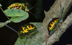 Jewel bug (Scutelleridae sp.), Kampong Trach, Cambodia